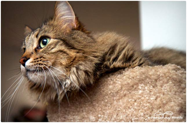 petsafe cat harness