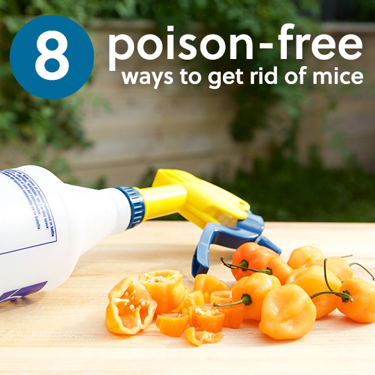 There is no reason to use cruel poisons to get rid of mice! Here are 8 effective ways to deal with mice, without using inhumane poison and traps.